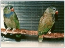 Adult pair of lovely Coral-billed Pionus