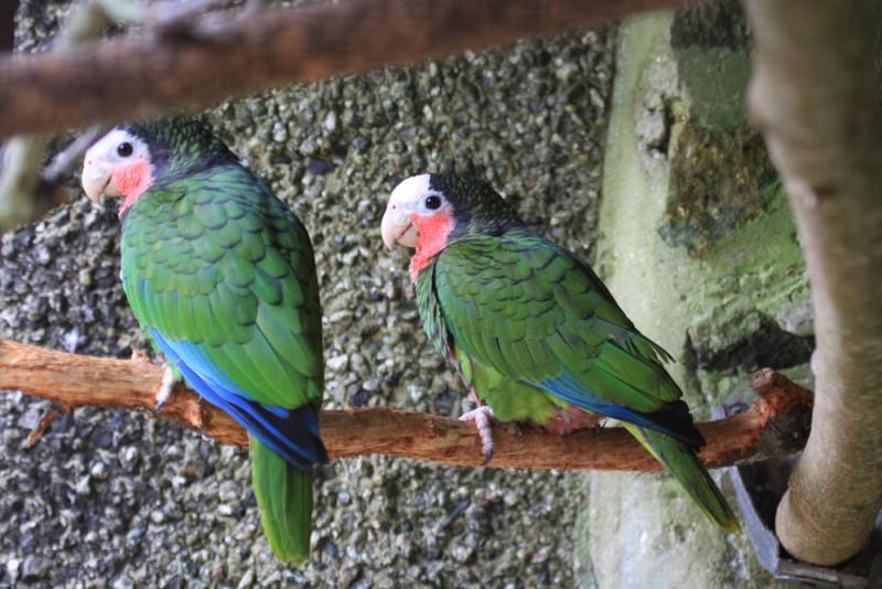 Cuban Amazons