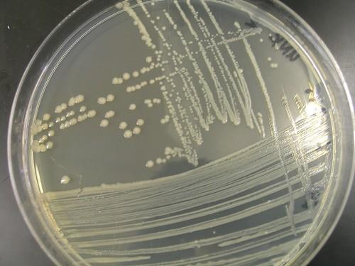 E coli on agar