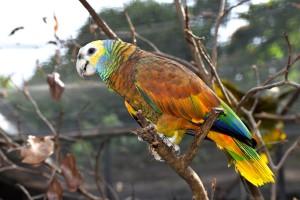 St Vincent's Parrot