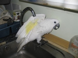 Cockatoo bathing
