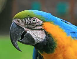 adult macaw