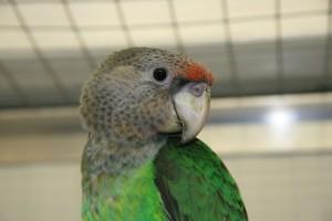 Cape parrot hen