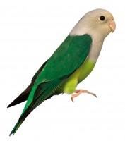 Adult Cock bird