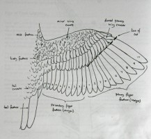 Wing diagram