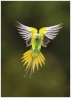 Echo parakeet in flight