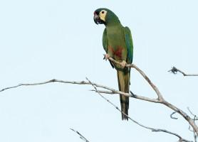 Illiger's Macaw