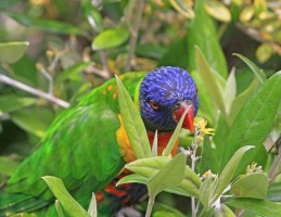 Rainbow Lory on flowers