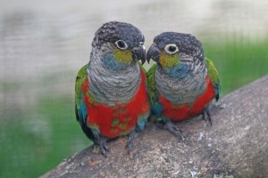 Crimson-bellied conures