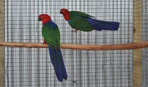 Pair of Buru King Parakeets
