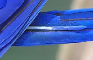 Macaw tail
