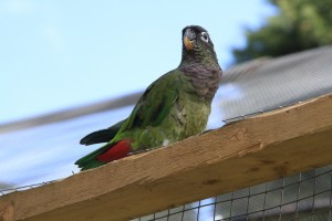 Maximilian Pionus parrot showing red under-tail feathers. Picture taken at Desford Bird Gardens, Leics.