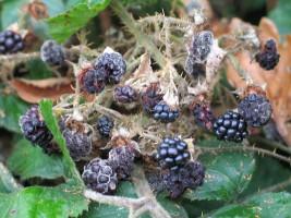 Mouldy blackberries