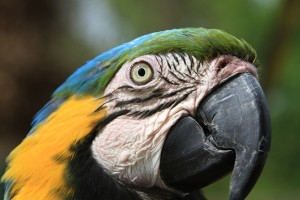Old Blue&Gold Macaw