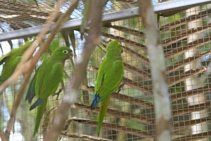Olive-throated Conures