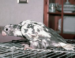 Species with the pigmented abnormal feathers seen as a feature of this disease