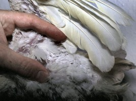 Powder down feathers in a cockatoo