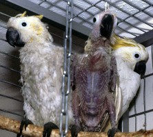 Three cockatoos with different levels of infection - left moderately affected, middle advanced progress, right clinically normal, but exposed to infection. Typical chronic feather abnormalities, but in this bird beak appears normal