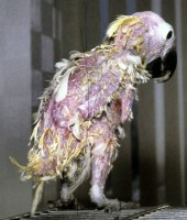 A very advanced chronic case (bird about 11 yrs old), with severe feather loss and abnormality, seriously damaged beak, and secondary skin infections