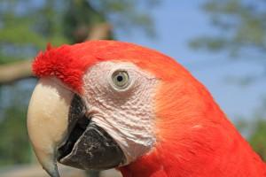 Scarlet Macaw 1
