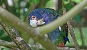 White capped Pionus parrot