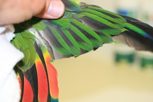 Amazon wing clipped