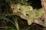 Kakapo chicks raised in 2008
