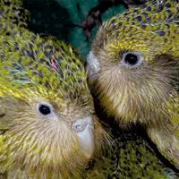Donation to The Kakapo in New Zealand