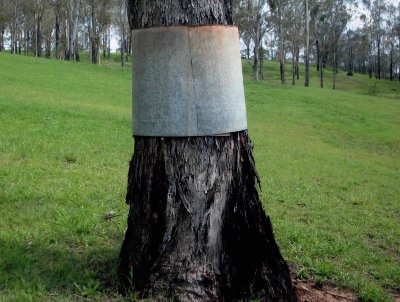 A typical tree with the Tin Band around the main trunk
